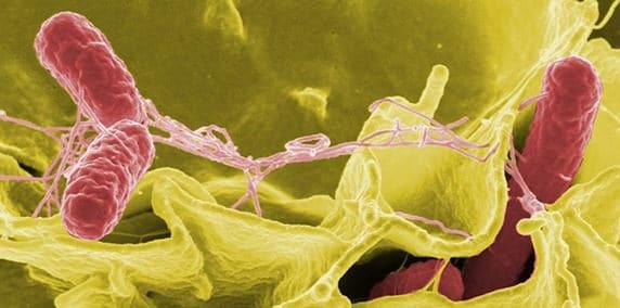 Salmonelloses : infections alimentaires les plus fréquentes